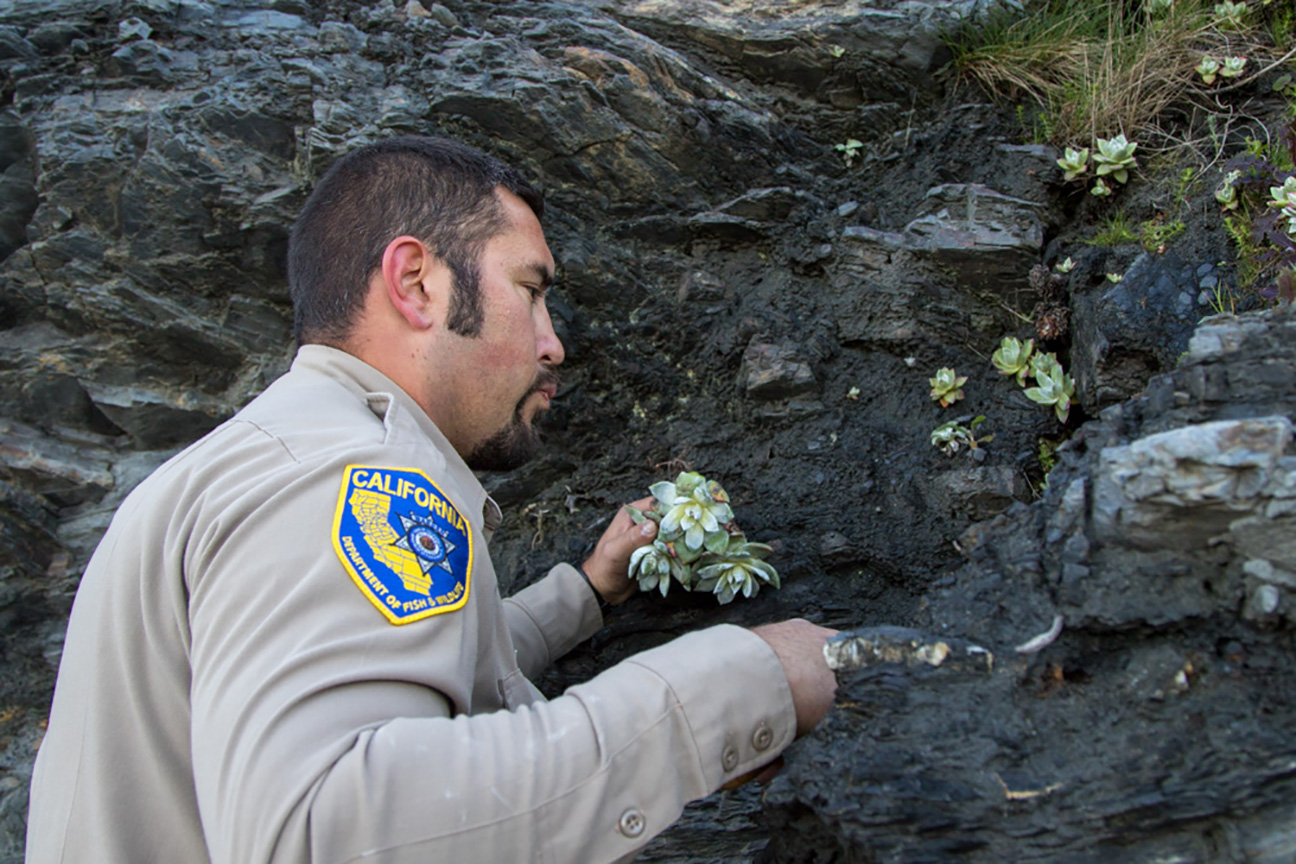 Wildlife-Officer-Will-Castillo-replanting-dudleya5
