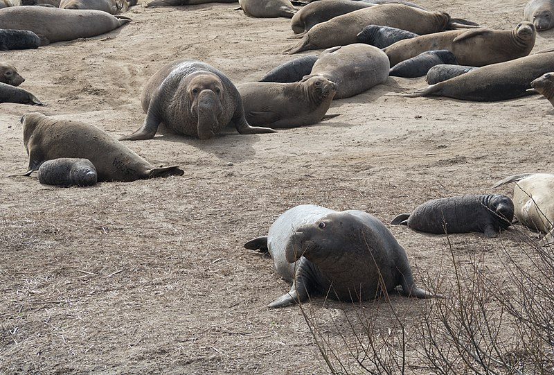 800px-Elephant_seal_bull_chasing_another_91681
