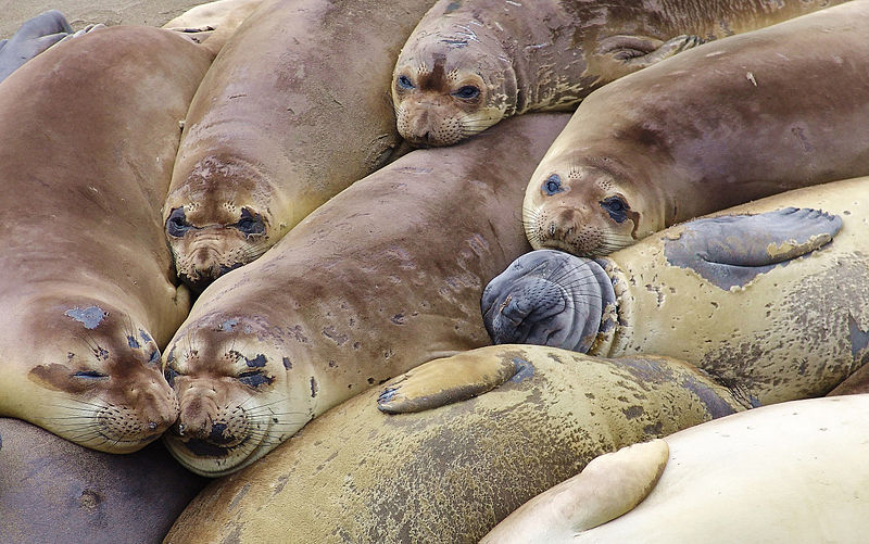 800px-Elephant_seal_colony_edit