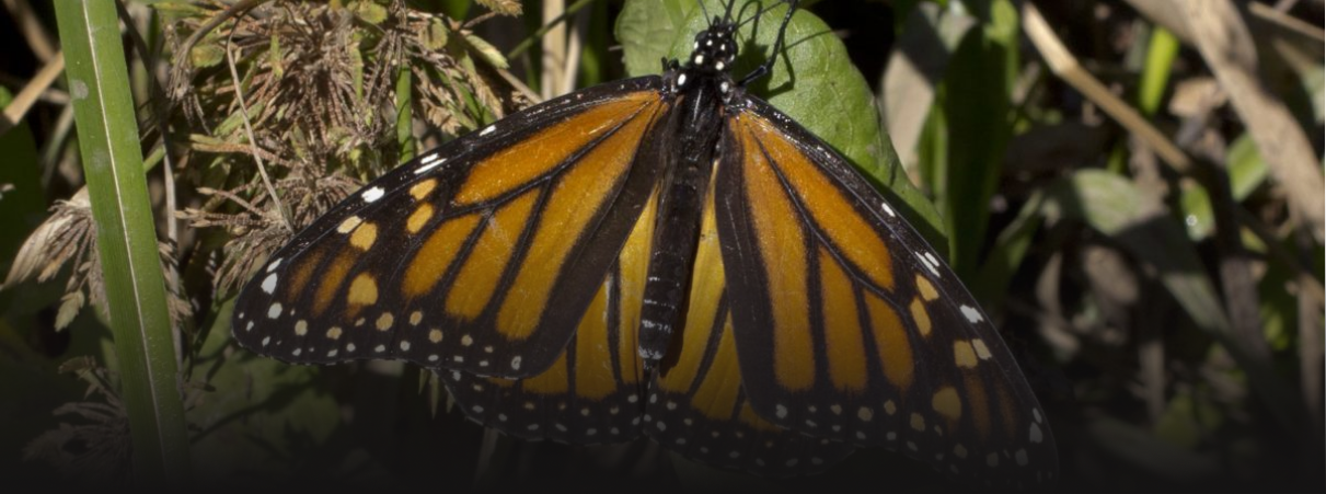 Western monarch butterfly numbers critically low for second straight year