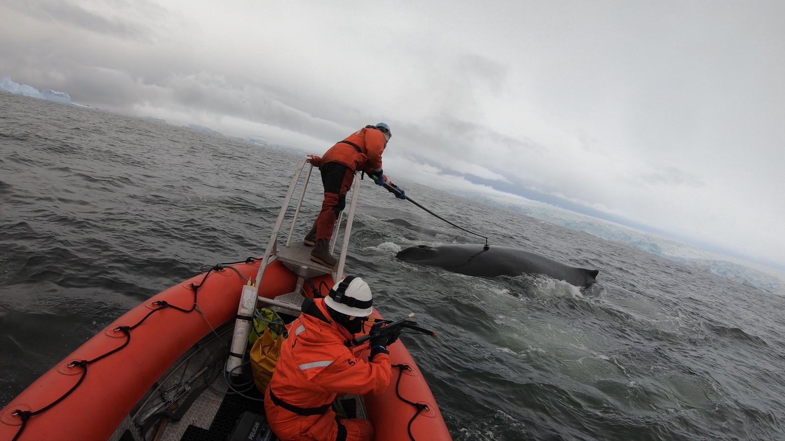 tagging-whales