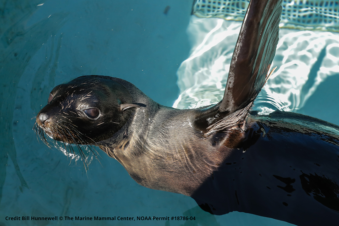 E.-GFS_Dansam_238_photo-6-by-Bill-Hunnewell-©-The-Marine-Mammal-Center_NOAA-permit-18786-04-1