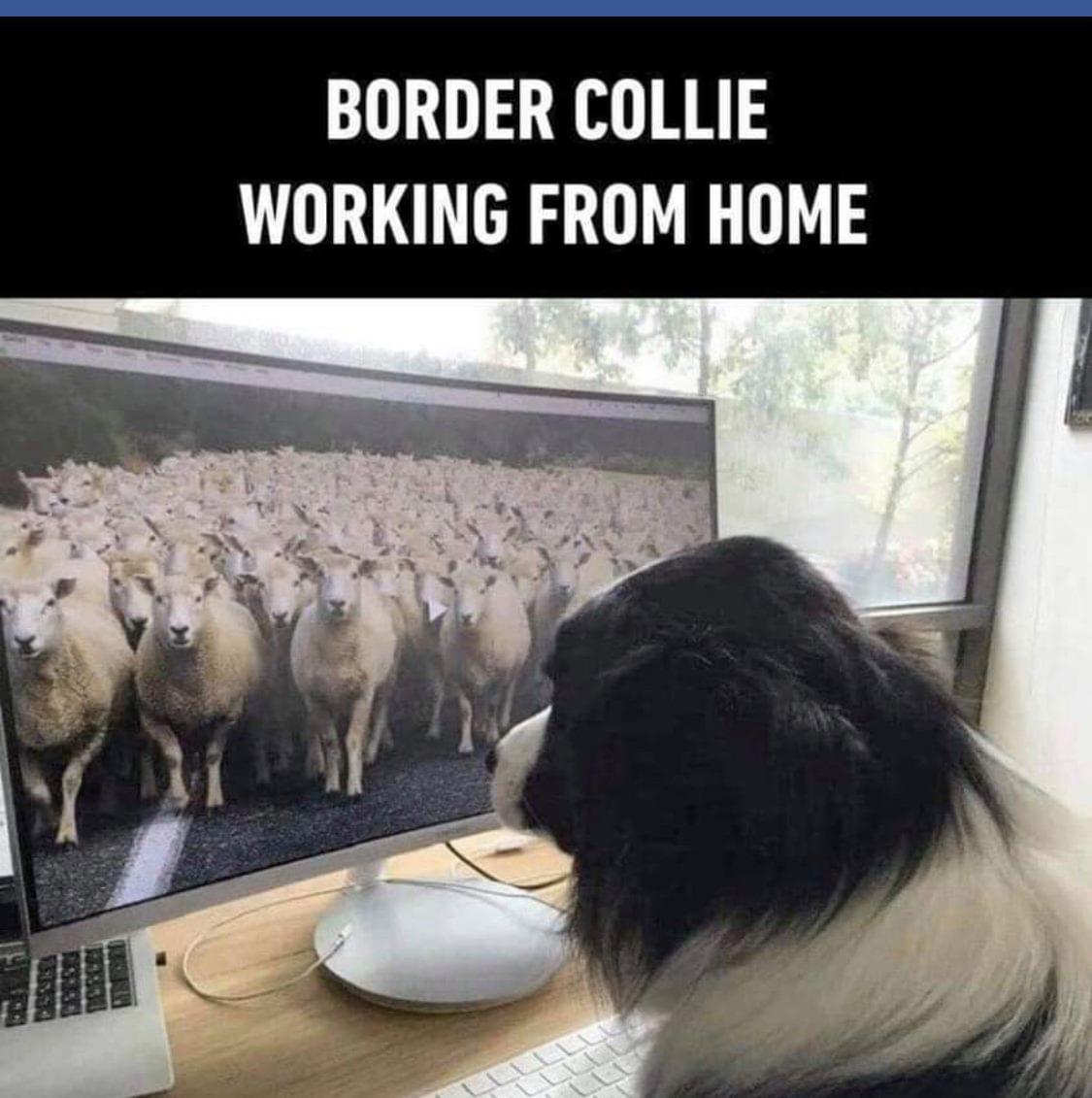 border-collie
