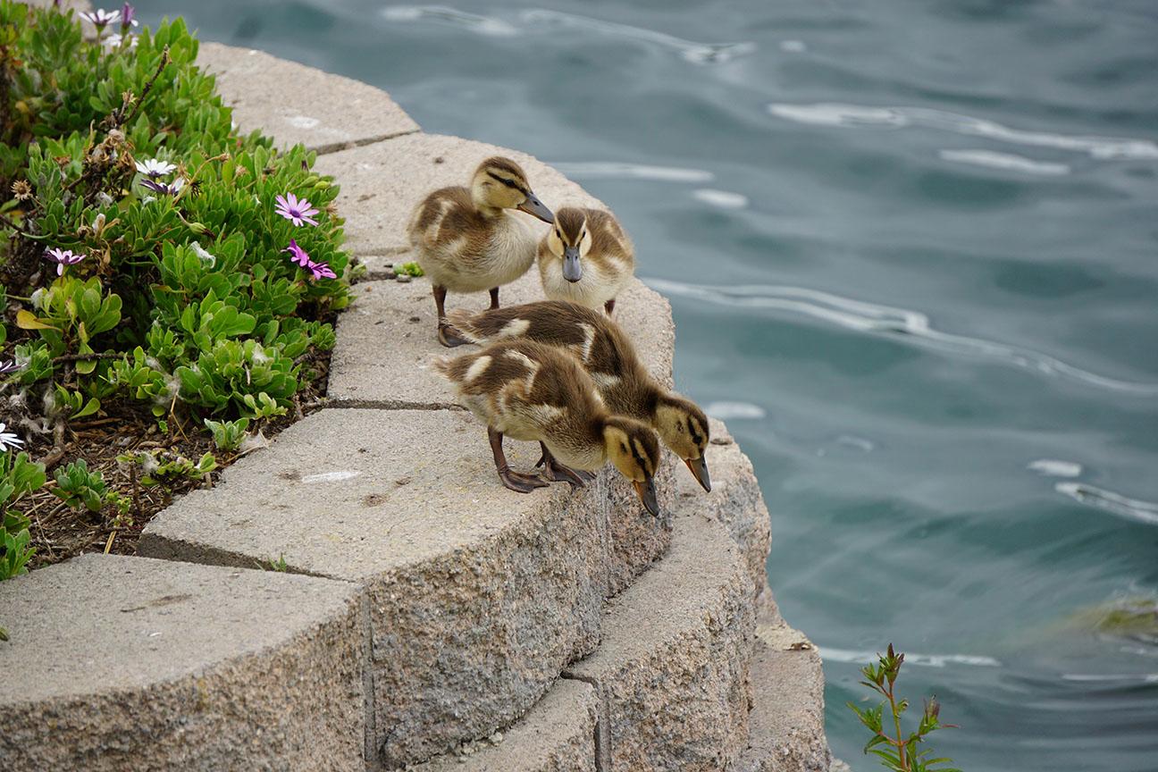 Melendez-ducklings-1
