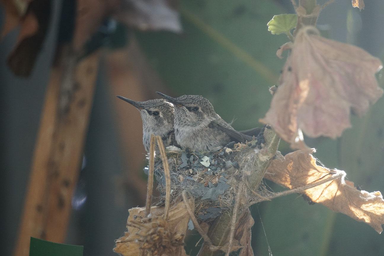 Melendez-hummingbirds-1