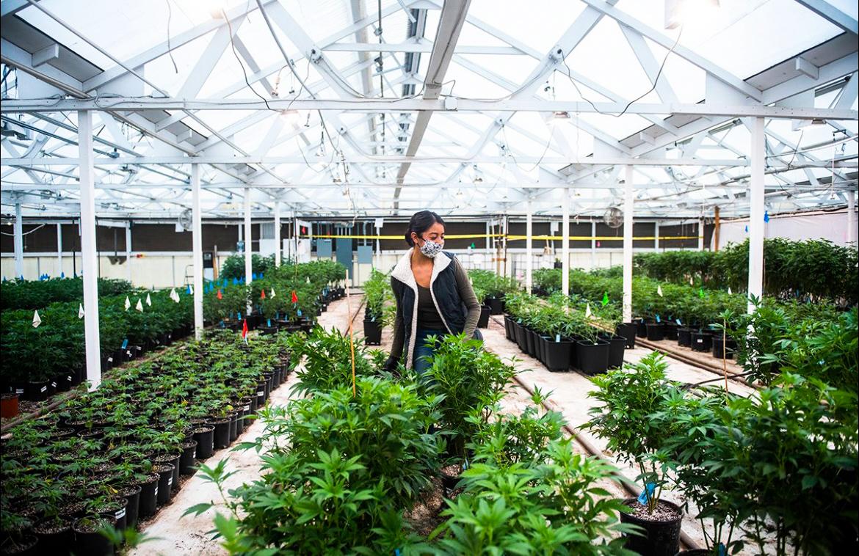 Cannabis-ladder.Greenhouse